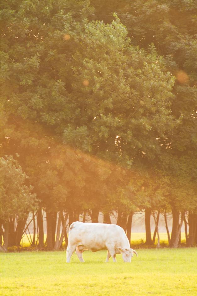 wpid-06_cow.jpg