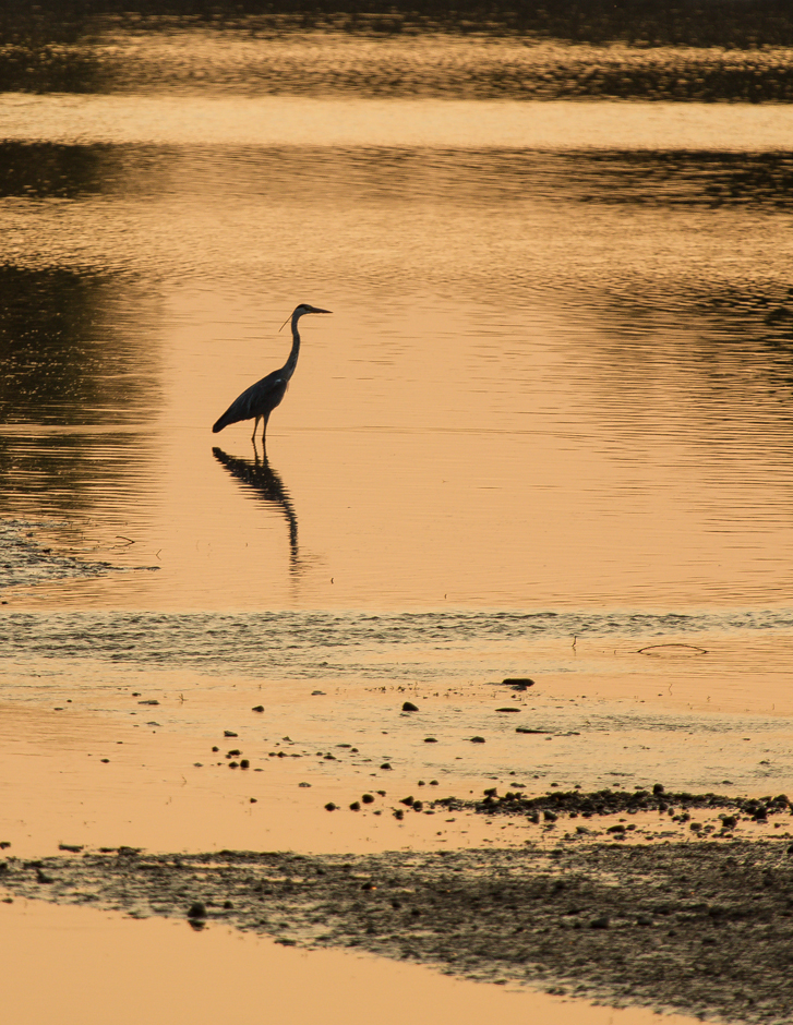 wpid-08_waiting-egret.jpg